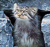 Pallas cat found in Annapurna